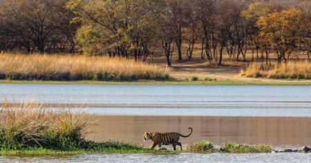벵골 호랑이 아름 다운 풍경의 배경에 호수를 따라 산책. Ranthambore 국립 공원입니다. 인도. 훌륭한 그림.