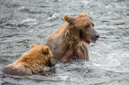 katmai: Mother brown bear with cub in the river. USA. Alaska. Katmai National Park. An excellent illustration.
