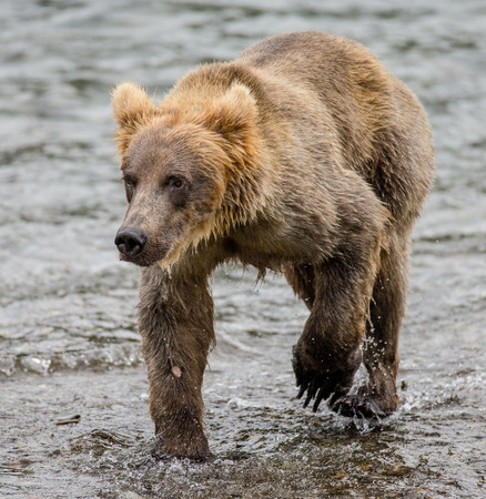 ヒグマは、湖の岸に沿って歩きます。米国。アラスカ。カトマイ国立公園。優秀なイラスト。 写真素材