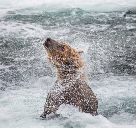 katmai: Brown bear shakes off water surrounded by splashes. USA. Alaska. Katmai National Park. An excellent illustration.