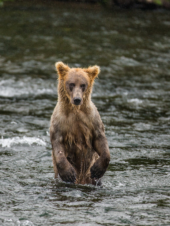katmai: Young brown bear standing on hind paws in the water in the river. USA. Alaska. Katmai National Park. An excellent illustration.