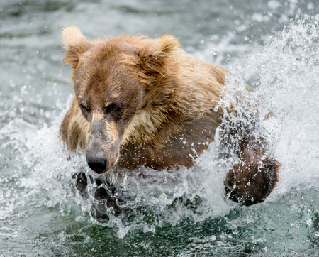 Brown bear running in the water in the river. USA. Alaska. Katmai National Park. An excellent illustration.