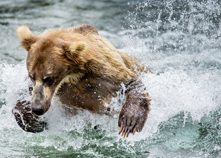 katmai: Brown bear running in the water in the river. USA. Alaska. Katmai National Park. An excellent illustration.