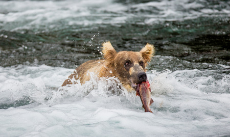 katmai: Brown bear with a salmon in his mouth. USA. Alaska. Katmai National Park. An excellent illustration. Stock Photo
