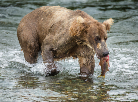 Brown bear with a salmon in his mouth. USA. Alaska. Katmai National Park. An excellent illustration. Stock Photo