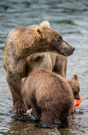 katmai: Mother brown bear with cub eating salmon in the river. USA. Alaska. Katmai National Park. An excellent illustration. Stock Photo
