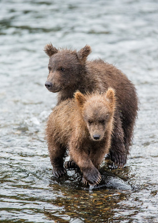 katmai: Two brown bear cub standing in a river next to each other. USA. Alaska. Katmai National Park. An excellent illustration.