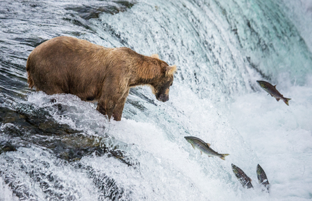 Brown bear catches a salmon in the river. USA. Alaska. Katmai National Park. An excellent illustration. Stock Photo