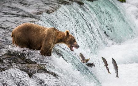 갈색 곰 강에서 연어를 잡는 다. 미국. 알래스카. 캣 마이 국립 공원. 훌륭한 그림. 스톡 콘텐츠