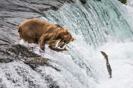 katmai: Brown bear catches a salmon in the river. USA. Alaska. Katmai National Park. An excellent illustration. Stock Photo