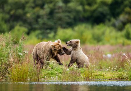 湖の岸で遊んでカブと母ヒグマ。米国。アラスカ。カトマイ国立公園。優秀なイラスト。