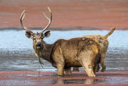 Deer with beautiful horns standing in the water in the wild. India. National Park. An excellent illustration. Stock Photo
