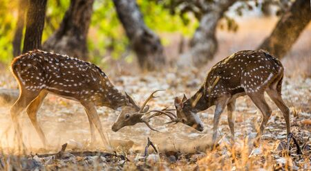 Two deer fighting each other in the mating season in the wild. India. National Park. An excellent illustration. Stock Photo