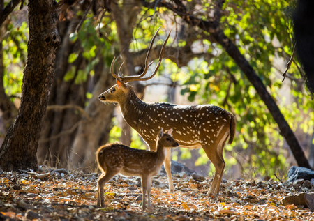 Deer with beautiful horns with a baby stands dzhunlyah in the wild. India. National Park. An excellent illustration.