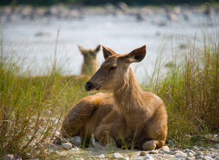 Deer lying on the river bank in the grass in the wild. India. National Park. An excellent illustration. Stock Photo