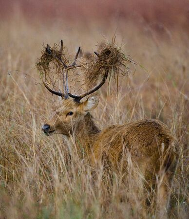 Deer with beautiful horns standing in the grass in the wild. India. National Park. An excellent illustration. Stock Photo