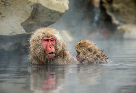 Mom and baby Japanese macaque sitting in water in a hot spring. Japan. Nagano. Jigokudani Monkey Park. An excellent illustration.