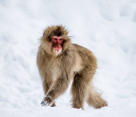 Japanese macaques running in the snow. Japan. Nagano. Jigokudani Monkey Park. An excellent illustration.