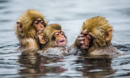 Group of Japanese macaques sitting in water in a hot spring. Japan. Nagano. Jigokudani Monkey Park. An excellent illustration. Stock Photo
