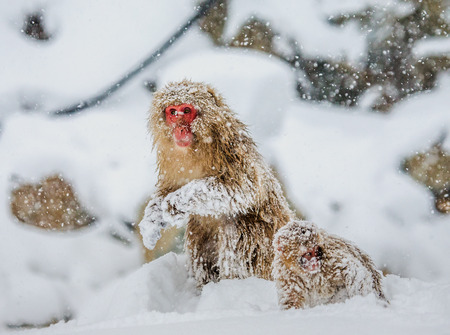 Japanese macaque sitting in the snow. Japan. Nagano. Jigokudani Monkey Park. An excellent illustration.