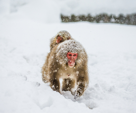 Mom Japanese macaque with a baby on her back goes to the hot spring in the deep snow. Japan. Nagano. Jigokudani Monkey Park. An excellent illustration. Stock Photo