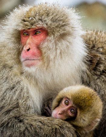 Mom and baby Japanese macaque sitting on stones in the water in a hot spring. Japan. Nagano. Jigokudani Monkey Park. An excellent illustration.