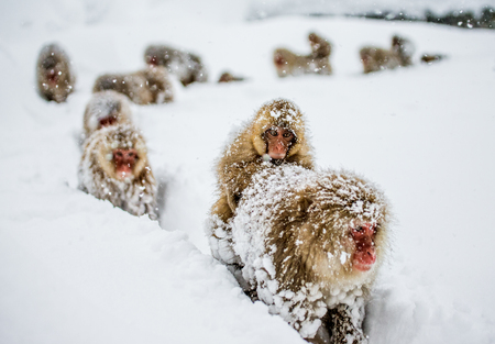 Group of Japanese macaques goes to the a hot spring in the deep snow. Japan. Nagano. Jigokudani Monkey Park. An excellent illustration.