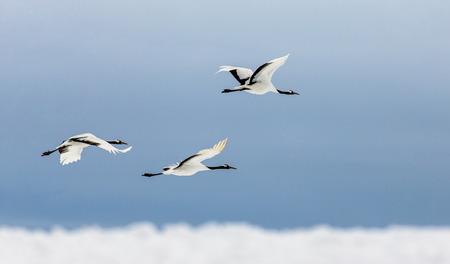 비행 중에 일본 크레인의 그룹입니다. 일본. 홋카이도. 츠 루이. 훌륭한 그림.