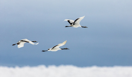 Group of Japanese cranes in flight. Japan. Hokkaido. Tsurui. An excellent illustration. Stock Photo