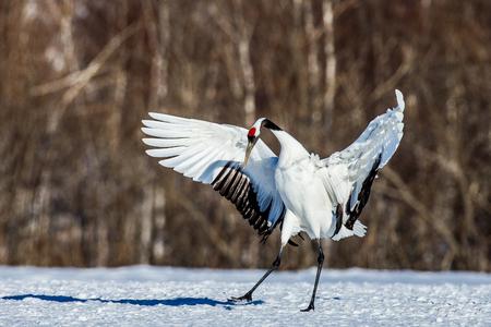 일본 크레인 그의 날개 제곱. 일본. 홋카이도. 츠 루이. 훌륭한 그림. 스톡 콘텐츠