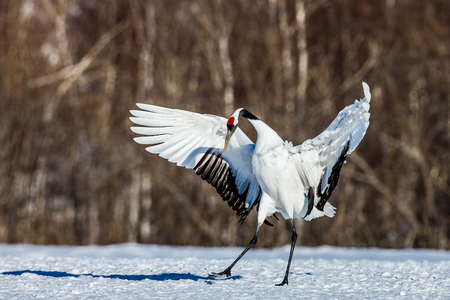 Japanese crane squared his wings. Japan. Hokkaido. Tsurui. An excellent illustration. Stock Photo
