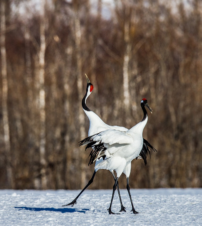 Two Japanese Cranes are standing on the snow. Japan. Hokkaido. Tsurui. An excellent illustration. Stock Photo