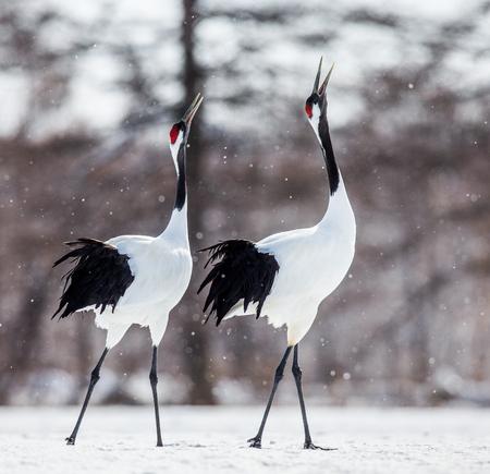 두 일본어 크레인이 눈에 걷고있다. 일본. 홋카이도. 쓰루이 촌. 훌륭한 그림입니다.