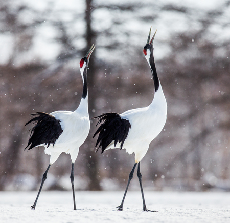 Two Japanese Cranes are walking on the snow. Japan. Hokkaido. Tsurui. An excellent illustration. Stock Photo