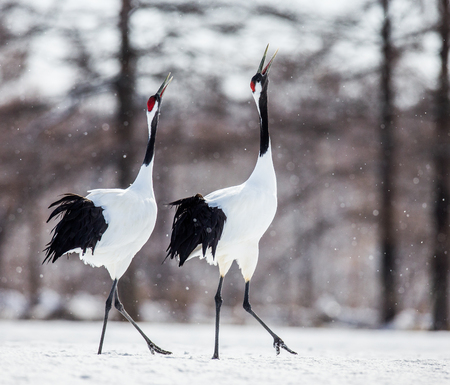 Two Japanese Cranes are walking on the snow. Japan. Hokkaido. Tsurui. An excellent illustration. Stock Photo
