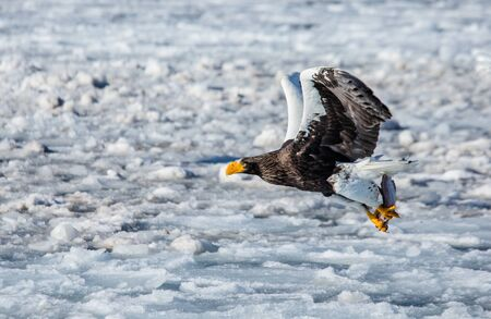 Stellers sea eagle in flight with prey on a background of the frozen sea. Japan. Hakkaydo. Shiretoko Peninsula. Shiretoko National Park. An excellent illustration.