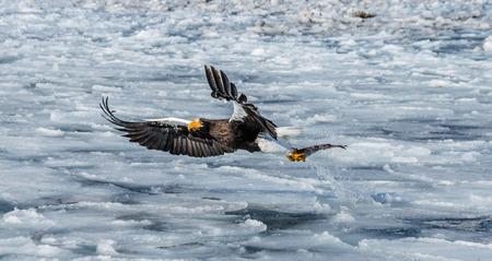Stellers sea eagle in flight with prey on a background of the frozen sea. Japan. Hakkaydo. Shiretoko Peninsula. Shiretoko National Park. An excellent illustration.
