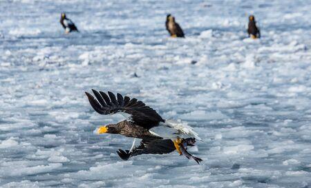 ottimo: L'aquila di mare di Steller in volo con la preda su uno sfondo del mare ghiacciato. Giappone. Hakkaydo. Shiretoko Peninsula. Parco nazionale di Shiretoko. Un'illustrazione eccellente.