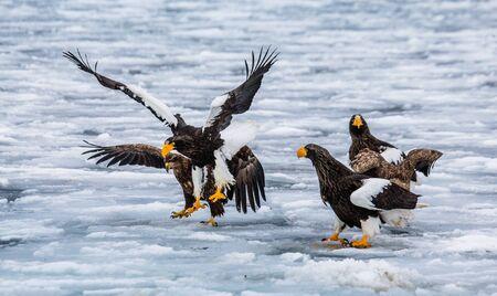 whitetailed: Group of the Stellers sea eagles on prey with ice. Japan. Hakkaydo. Shiretoko Peninsula. Shiretoko National Park. An excellent illustration.