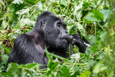 dominant: Dominant male mountain gorilla in the grass. Uganda. Bwindi Impenetrable Forest National Park. An excellent illustration.