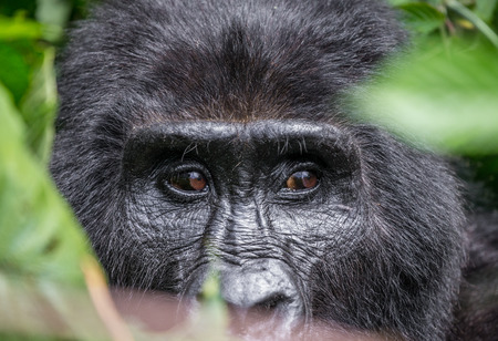 Portrait of a mountain gorilla. Uganda. Bwindi Impenetrable Forest National Park. An excellent illustration.
