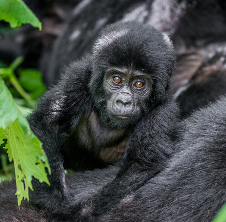 Portrait of the baby mountain gorilla. Uganda. Bwindi Impenetrable Forest National Park. An excellent illustration. Stock Photo