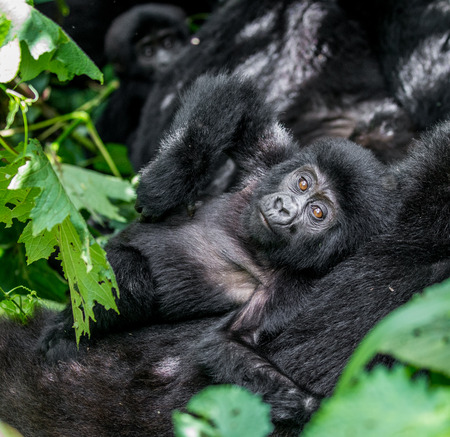 Female mountain gorilla with a baby. Uganda. Bwindi Impenetrable Forest National Park. An excellent illustration.