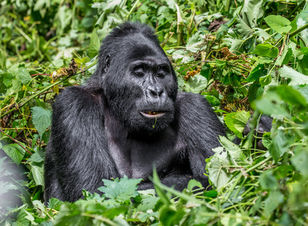 Dominant male mountain gorilla in the grass. Uganda. Bwindi Impenetrable Forest National Park. An excellent illustration.