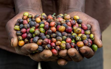사람의 handbreadths에서 잘 익은 커피의 곡물. 동 아프리카. 커피 농장. 훌륭한 그림.