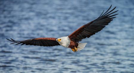 아프리카 물고기 독수리 비행입니다. 동 아프리카. 우간다. 좋은 그림.