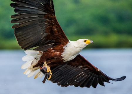 African fish eagle in flight with the fish in its claws. East Africa. Uganda. Great illustration.