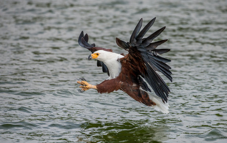 Moment of the African fish eagles attack on the fish in the water. East Africa. Uganda. Great illustration.