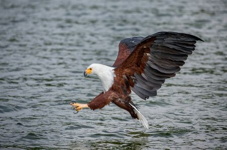 Moment of the African fish eagle's attack on the fish in the water. East Africa. Uganda. Great illustration.