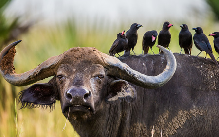 Buffalo in the savannah with birds on its back. Africa. Uganda. An excellent illustration.